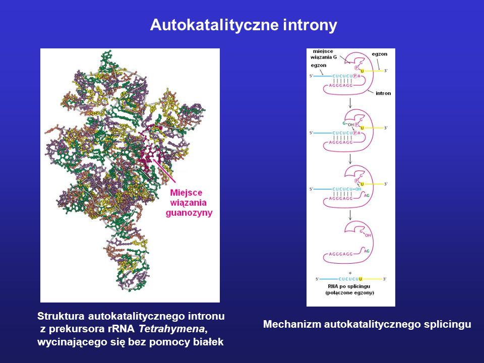 Rybozymy i enzymy DNA Cząsteczki RNA lub DNA wykazujące aktywność autokatalityczną lub katalityczną 1.RNaza P 2.Autokatalityczne introny 3.Rybozymy ty