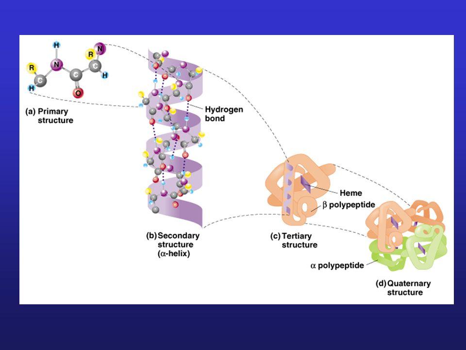 Sekwencjonowanie białek 1.Rozszczepienie łańcucha białka na fragmenty metodami enzymatycznymi lub chemicznymi 2.Separacja i izolacja peptydów 3.Sekwencjonowanie peptydów 4.Określenie kompletnej sekwencji łańcuch białka na podstawie porównania nakładających się sekwencji peptydów