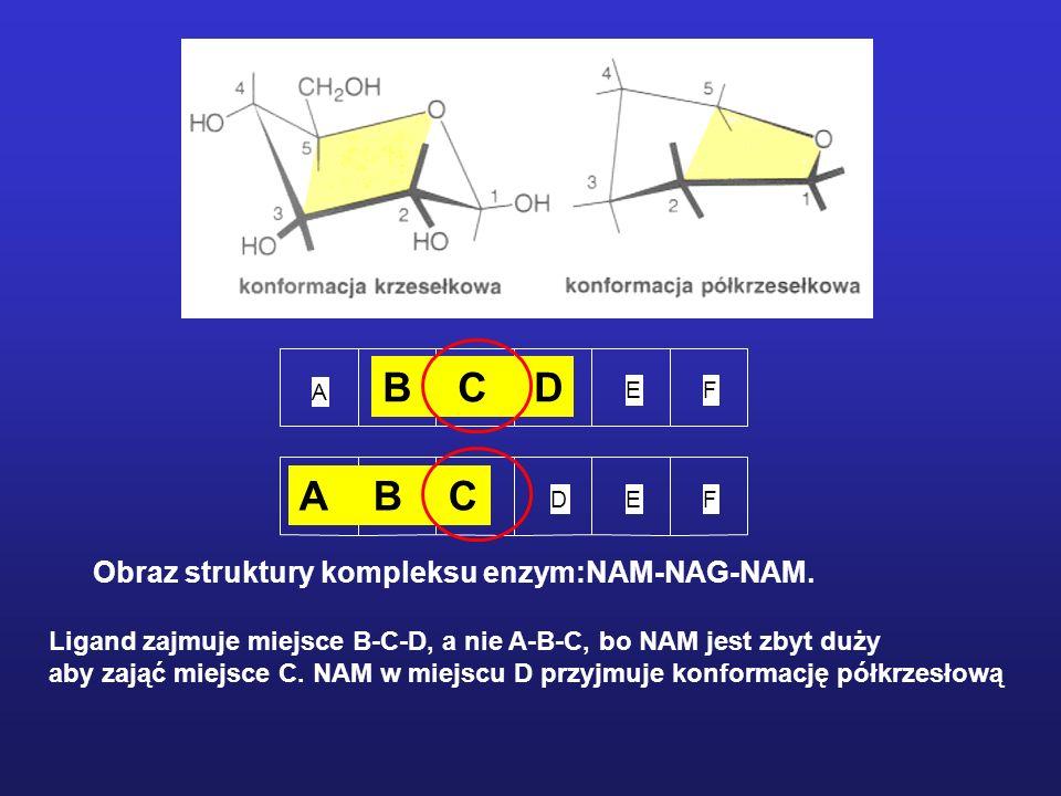 Analog substratu, laktonowa pochodna (NAG) 4, wiąże się z enzymem 3 600 razy silniej niż (NAG) 4.