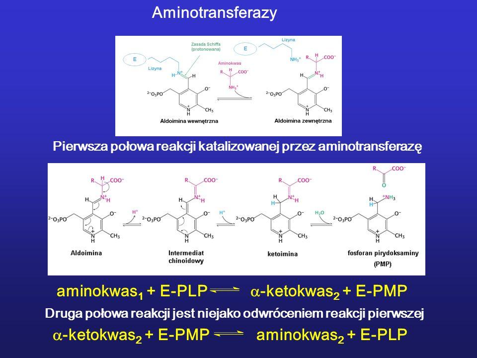 aminokwas 1 + E-PLP -ketokwas 2 + E-PMP Pierwsza połowa reakcji katalizowanej przez aminotransferazę Druga połowa reakcji jest niejako odwróceniem reakcji pierwszej -ketokwas 2 + E-PMP aminokwas 2 + E-PLP Aminotransferazy