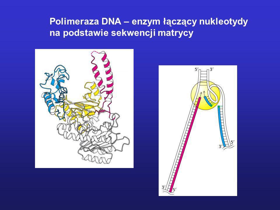 Polimeraza DNA – enzym łączący nukleotydy na podstawie sekwencji matrycy
