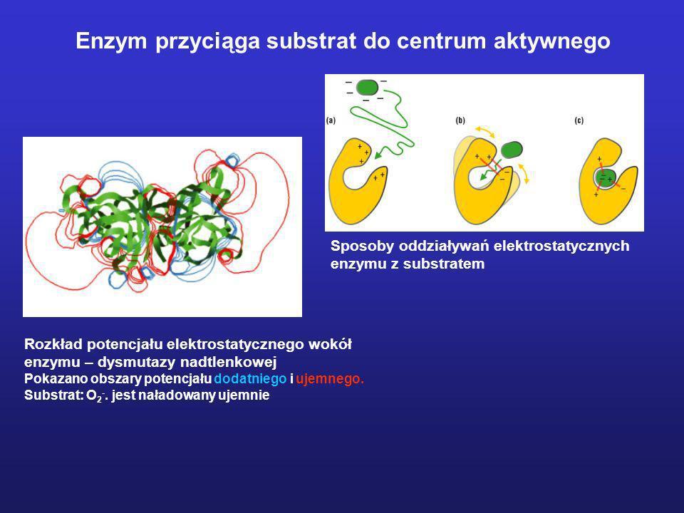 Enzym przyciąga substrat do centrum aktywnego Rozkład potencjału elektrostatycznego wokół enzymu – dysmutazy nadtlenkowej Pokazano obszary potencjału