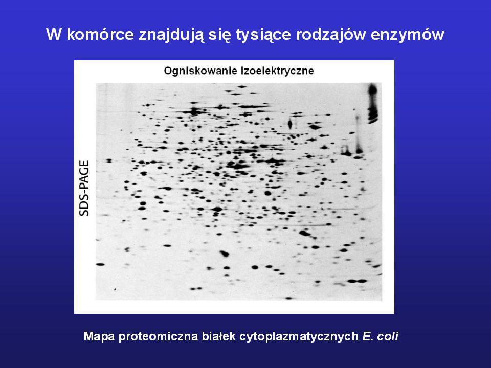 Ważne daty z historii enzymologii 1878 Kuhne – wprowadzenie terminu enzym 1894 Fisher – teoria klucza i zamka, specyficzność substratowa 1897 Buchner – wykazanie, że ekstrakt drożdżowy może katalizować fermentację alkoholową 1913 Michaelis, Menten – podstawy matematycznej analizy kinetyki reakcji enz, 1926 Sumner – pierwsze otrzymanie enzymu w formie krystalicznej (ureaza) 1928 Svedberg – skonstruowanie ultrawirówki 1958 Koshland – teoria wzbudzonego dopasowania 1960 Stein, Moore – pierwsze określenie sekwencji aminokwasowej enzymu 1965 Pierwsze określenie struktury przestrzennej enzymu (lizozym) na podstawie danych krystalograficznych.