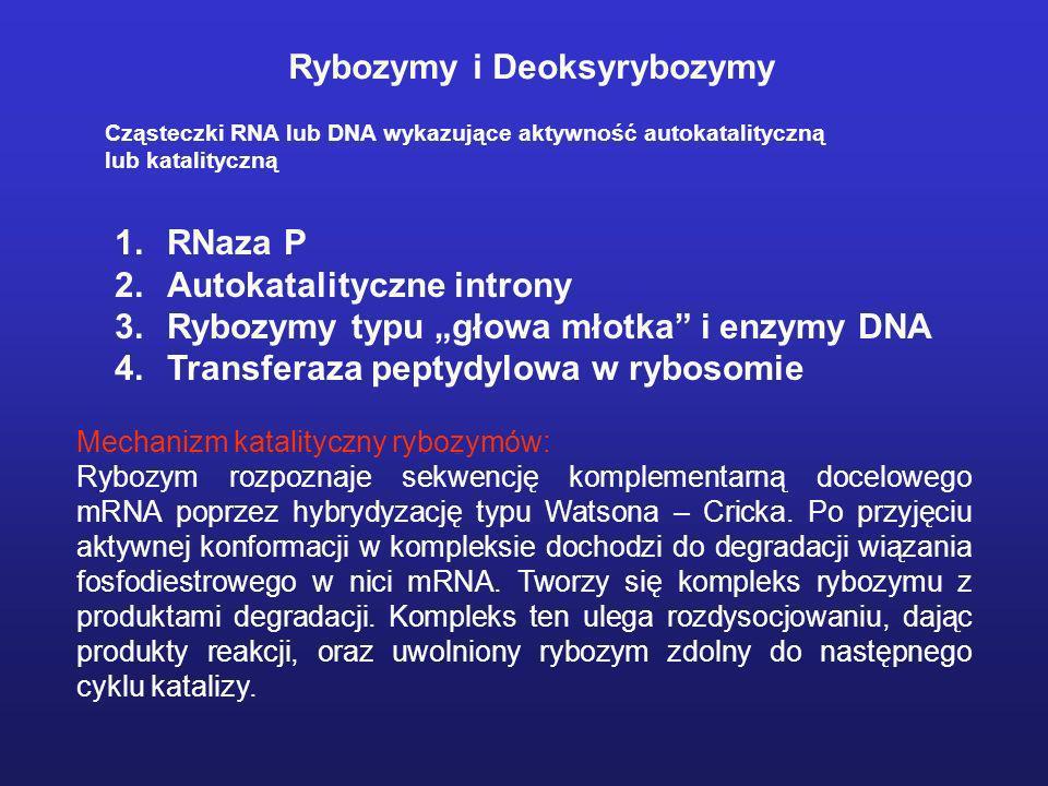 Rybozymy i Deoksyrybozymy Cząsteczki RNA lub DNA wykazujące aktywność autokatalityczną lub katalityczną 1.RNaza P 2.Autokatalityczne introny 3.Rybozym