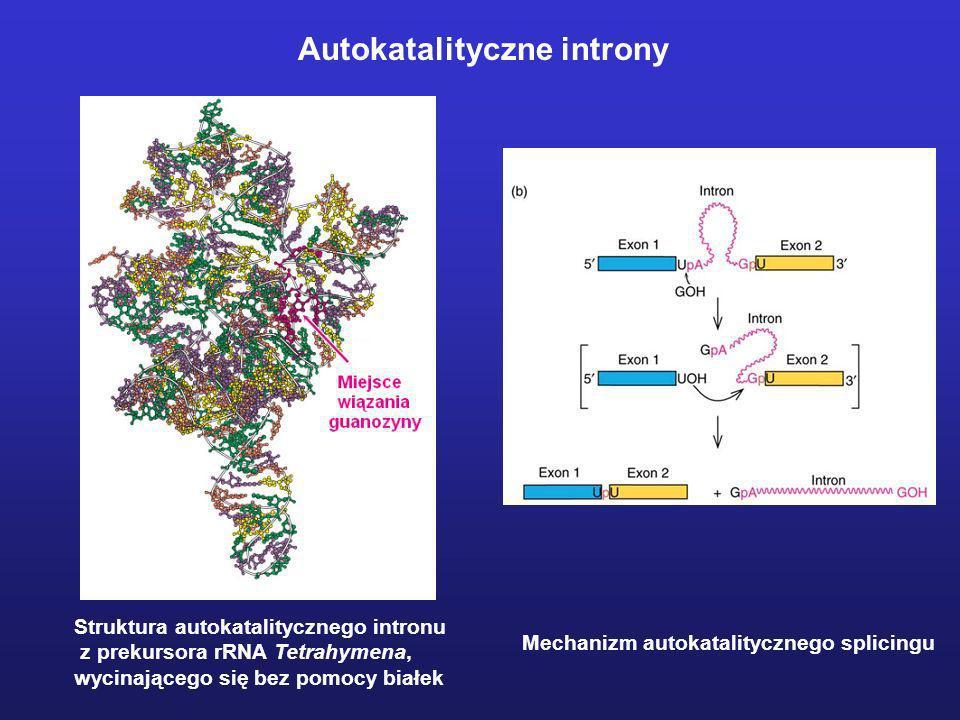 Autokatalityczne introny Struktura autokatalitycznego intronu z prekursora rRNA Tetrahymena, wycinającego się bez pomocy białek Mechanizm autokatality