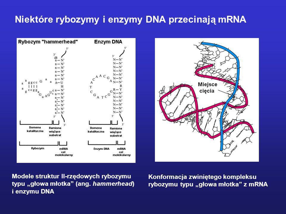Niektóre rybozymy i enzymy DNA przecinają mRNA Modele struktur II-rzędowych rybozymu typu głowa młotka (ang. hammerhead) i enzymu DNA Konformacja zwin