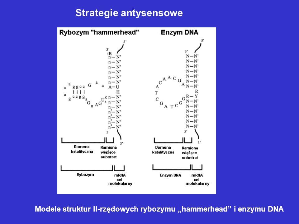Strategie antysensowe Modele struktur II-rzędowych rybozymu hammerhead i enzymu DNA