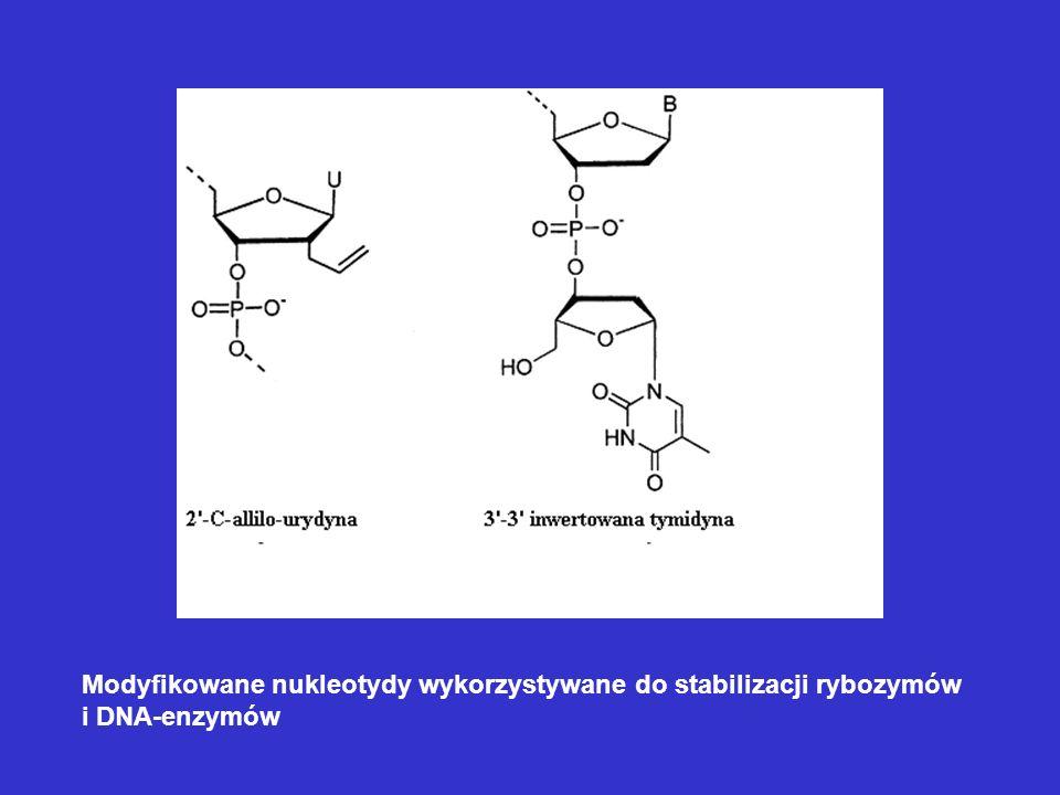 Modyfikowane nukleotydy wykorzystywane do stabilizacji rybozymów i DNA-enzymów
