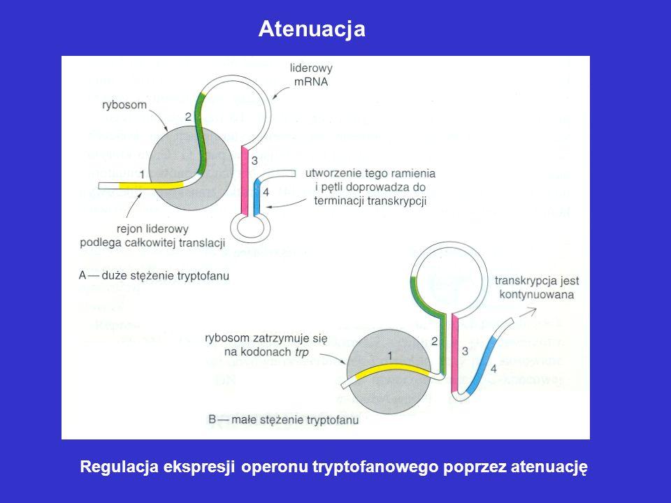 Atenuacja Regulacja ekspresji operonu tryptofanowego poprzez atenuację