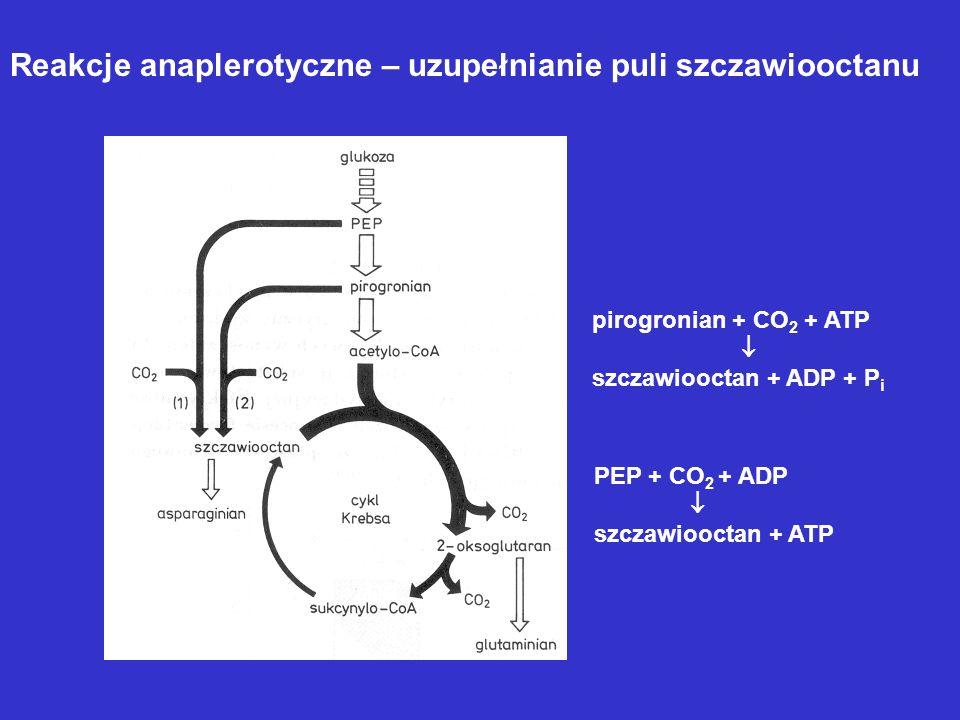 Reakcje anaplerotyczne – uzupełnianie puli szczawiooctanu pirogronian + CO 2 + ATP szczawiooctan + ADP + P i PEP + CO 2 + ADP szczawiooctan + ATP