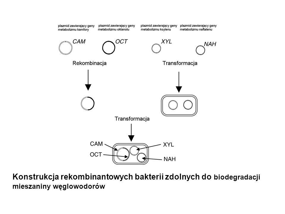 Konstrukcja rekombinantowych bakterii zdolnych do biodegradacji mieszaniny węglowodorów