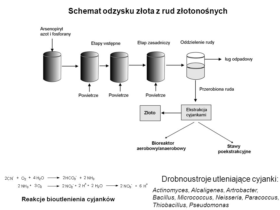Schemat odzysku złota z rud złotonośnych Reakcje bioutlenienia cyjanków Drobnoustroje utleniające cyjanki: Actinomyces, Alcaligenes, Artrobacter, Baci