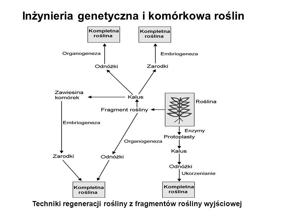 Techniki regeneracji rośliny z fragmentów rośliny wyjściowej Inżynieria genetyczna i komórkowa roślin