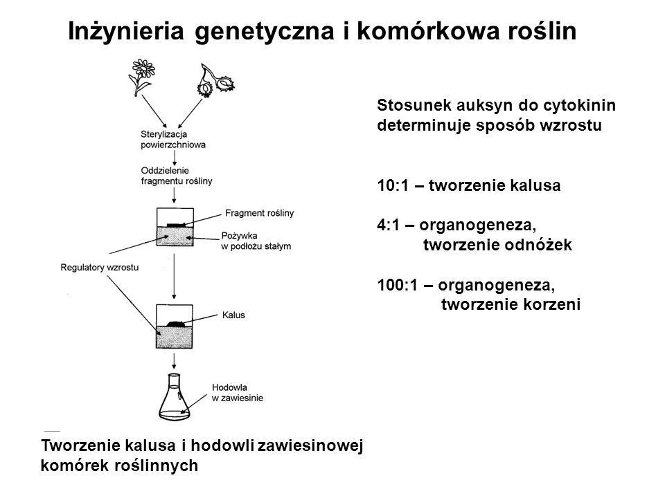 Tworzenie kalusa i hodowli zawiesinowej komórek roślinnych Stosunek auksyn do cytokinin determinuje sposób wzrostu 10:1 – tworzenie kalusa 4:1 – organ