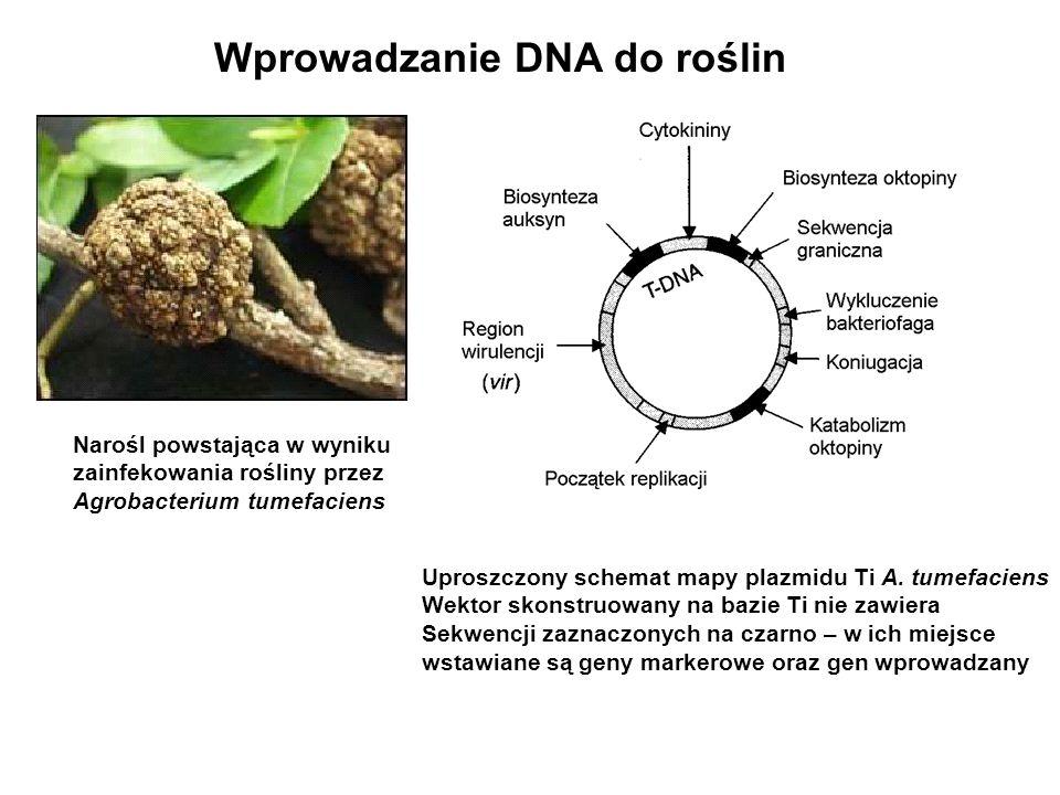 Narośl powstająca w wyniku zainfekowania rośliny przez Agrobacterium tumefaciens Wprowadzanie DNA do roślin Uproszczony schemat mapy plazmidu Ti A. tu