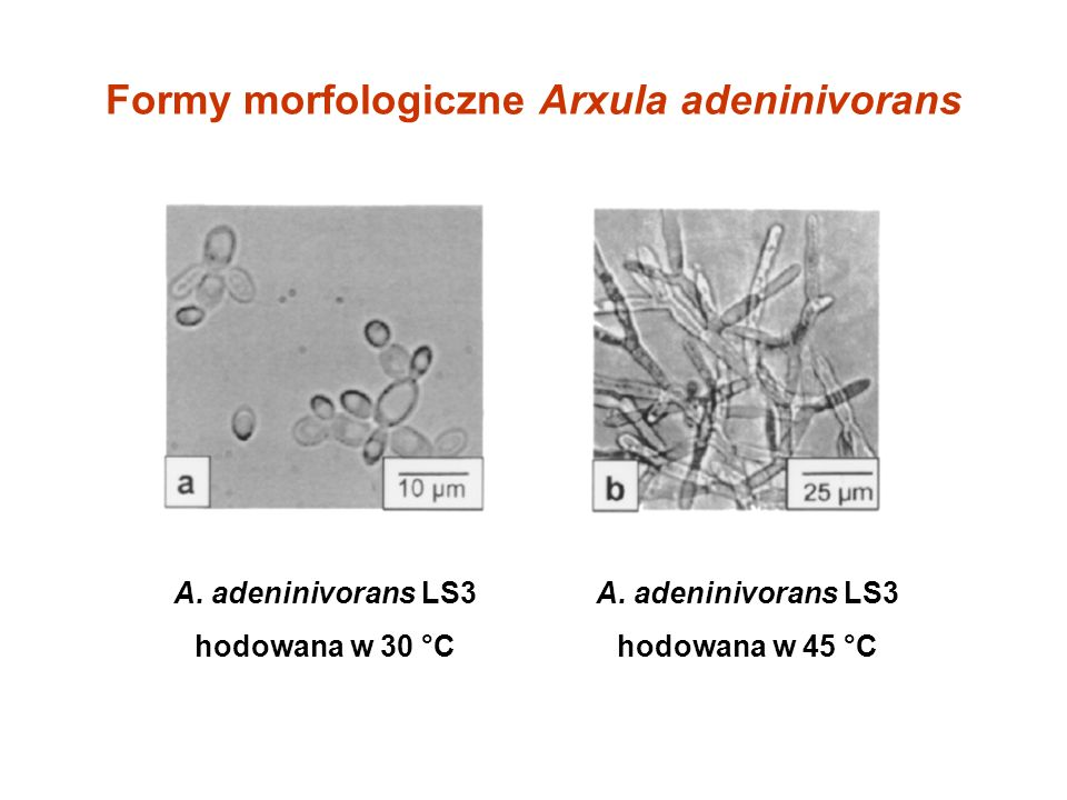 Formy morfologiczne Arxula adeninivorans A. adeninivorans LS3 hodowana w 30 °C A. adeninivorans LS3 hodowana w 45 °C