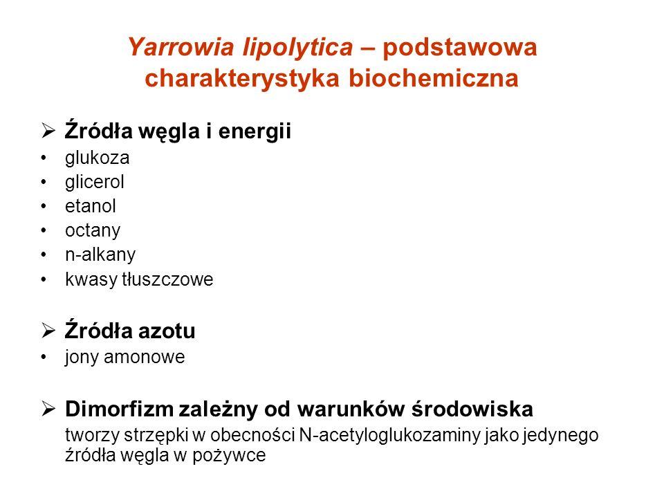 Yarrowia lipolytica – podstawowa charakterystyka biochemiczna Źródła węgla i energii glukoza glicerol etanol octany n-alkany kwasy tłuszczowe Źródła azotu jony amonowe Dimorfizm zależny od warunków środowiska tworzy strzępki w obecności N-acetyloglukozaminy jako jedynego źródła węgla w pożywce