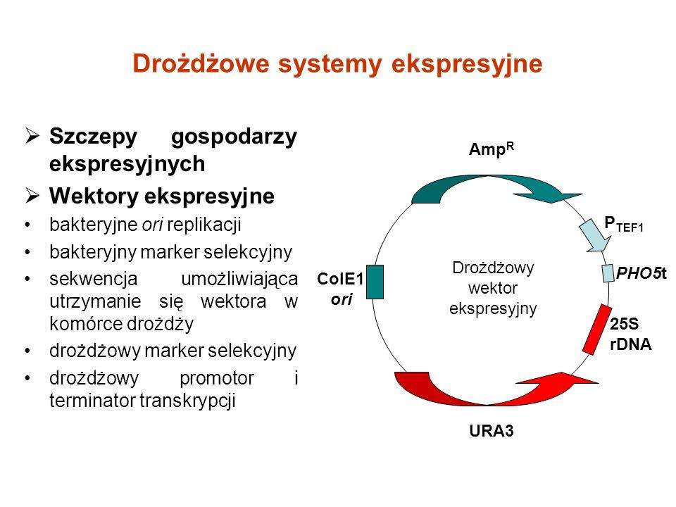 Drożdżowe systemy ekspresyjne Szczepy gospodarzy ekspresyjnych Wektory ekspresyjne bakteryjne ori replikacji bakteryjny marker selekcyjny sekwencja umożliwiająca utrzymanie się wektora w komórce drożdży drożdżowy marker selekcyjny drożdżowy promotor i terminator transkrypcji Drożdżowy wektor ekspresyjny P TEF1 Amp R URA3 PHO5t 25S rDNA ColE1 ori