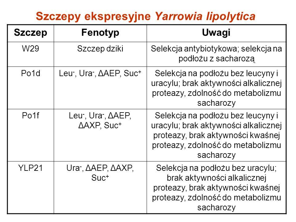 Szczepy ekspresyjne Yarrowia lipolytica SzczepFenotypUwagi W29Szczep dzikiSelekcja antybiotykowa; selekcja na podłożu z sacharozą Po1dLeu -, Ura -, ΔAEP, Suc + Selekcja na podłożu bez leucyny i uracylu; brak aktywności alkalicznej proteazy, zdolność do metabolizmu sacharozy Po1fLeu -, Ura -, ΔAEP, ΔAXP, Suc + Selekcja na podłożu bez leucyny i uracylu; brak aktywności alkalicznej proteazy, brak aktywności kwaśnej proteazy, zdolność do metabolizmu sacharozy YLP21Ura -, ΔAEP, ΔAXP, Suc + Selekcja na podłożu bez uracylu; brak aktywności alkalicznej proteazy, brak aktywności kwaśnej proteazy, zdolność do metabolizmu sacharozy