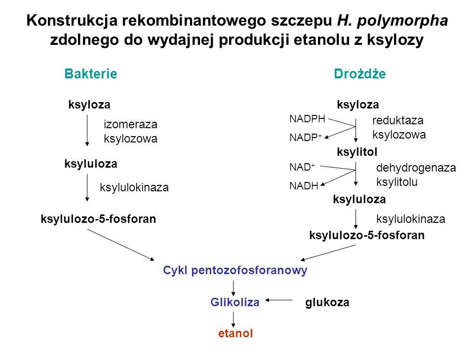 Konstrukcja rekombinantowego szczepu H. polymorpha zdolnego do wydajnej produkcji etanolu z ksylozy ksyloza ksyluloza ksylulozo-5-fosforan Cykl pentoz