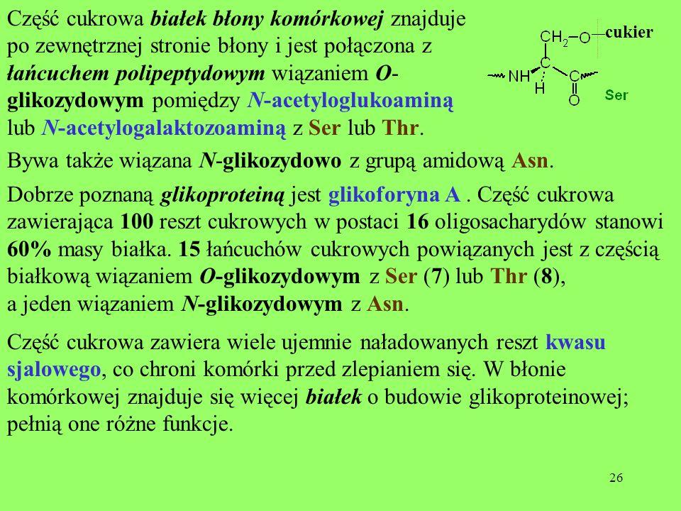 26 Część cukrowa białek błony komórkowej znajduje po zewnętrznej stronie błony i jest połączona z łańcuchem polipeptydowym wiązaniem O- glikozydowym p