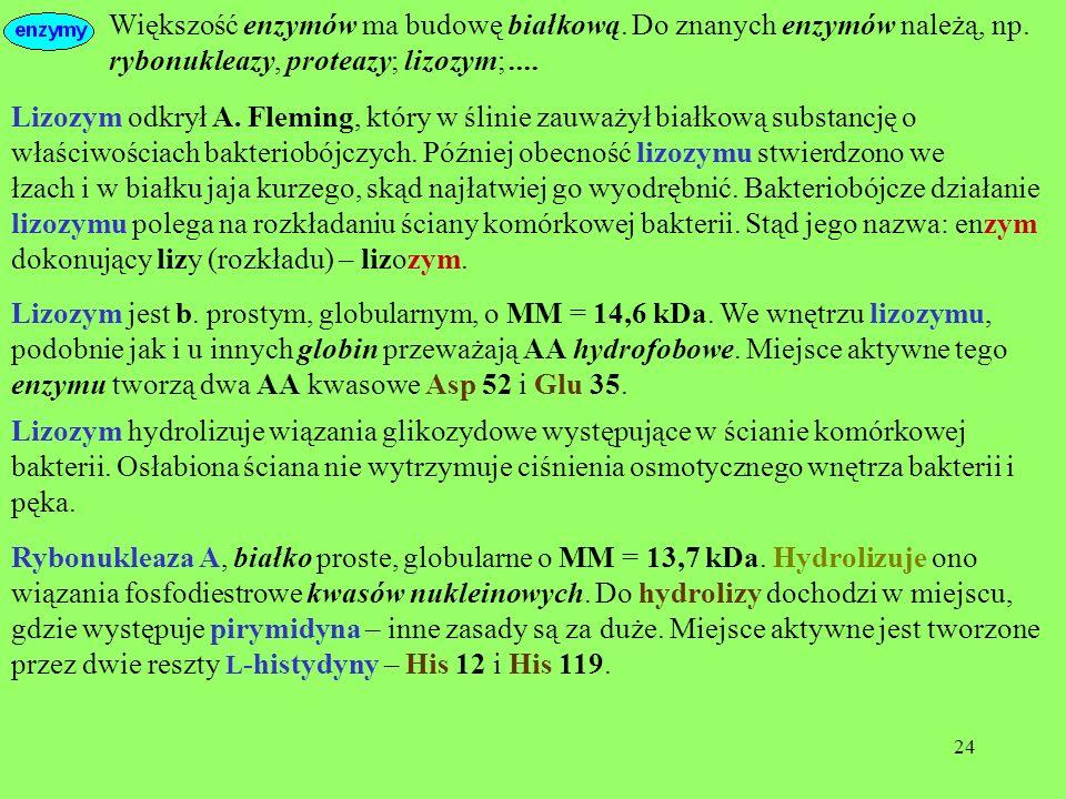24 Większość enzymów ma budowę białkową. Do znanych enzymów należą, np. rybonukleazy, proteazy; lizozym;.... Lizozym odkrył A. Fleming, który w ślinie