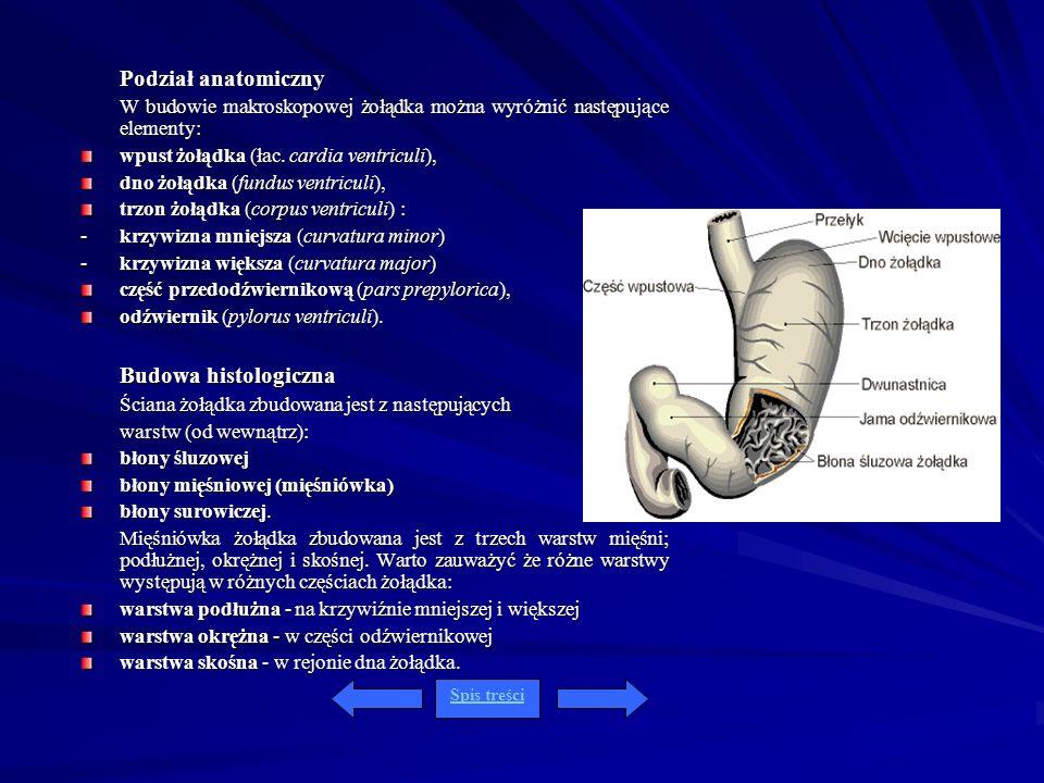 Podział anatomiczny W budowie makroskopowej żołądka można wyróżnić następujące elementy: wpust żołądka (łac. cardia ventriculi), dno żołądka (fundus v