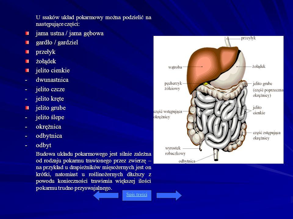 U ssaków układ pokarmowy można podzielić na następujące części: jama ustna / jama gębowa gardło / gardziel przełykżołądek jelito cienkie - dwunastnica