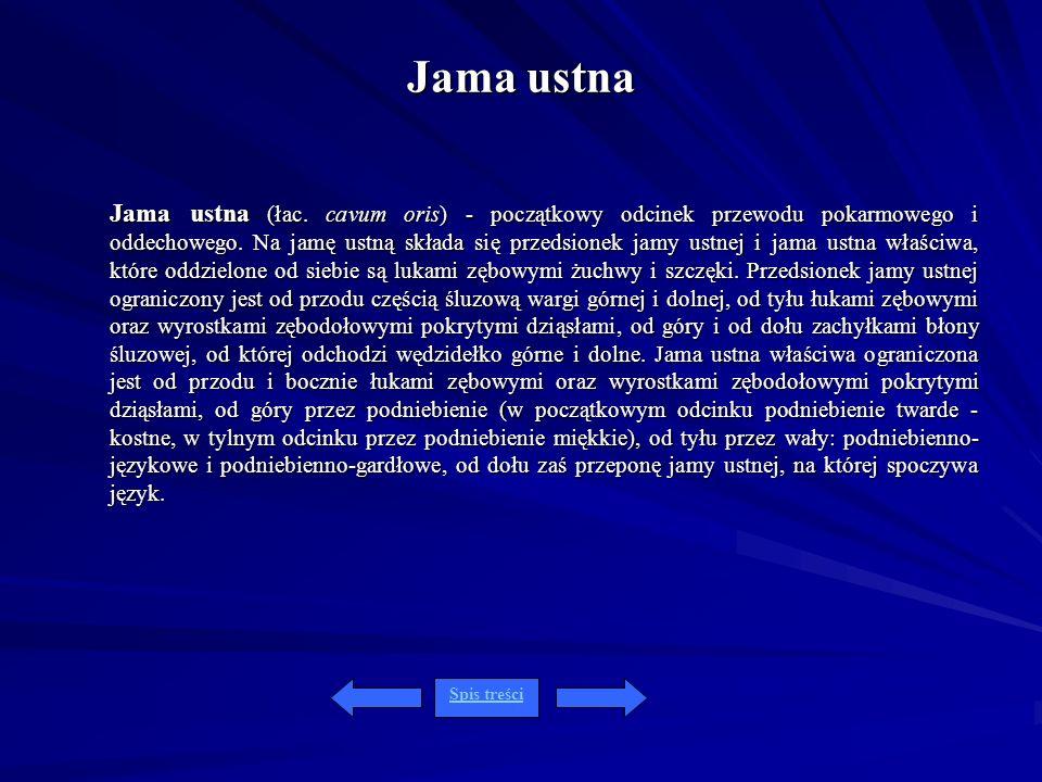Jama ustna Jama ustna (łac. cavum oris) - początkowy odcinek przewodu pokarmowego i oddechowego. Na jamę ustną składa się przedsionek jamy ustnej i ja