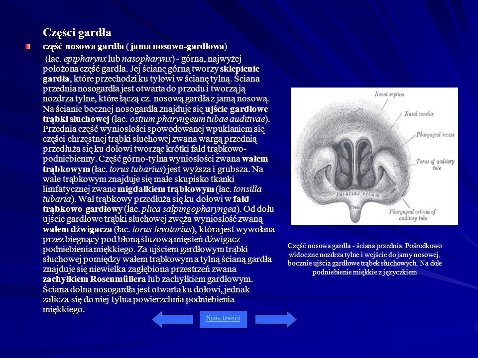 Części gardła część nosowa gardła ( jama nosowo-gardłowa) (łac. epipharynx lub nasopharynx) - górna, najwyżej położona część gardła. Jej ścianę górną