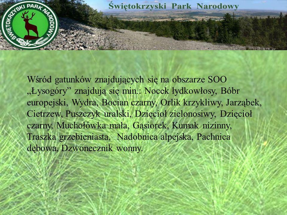 Wśród gatunków znajdujących się na obszarze SOO Łysogóry znajdują się min.: Nocek łydkowłosy, Bóbr europejski, Wydra, Bocian czarny, Orlik krzykliwy,