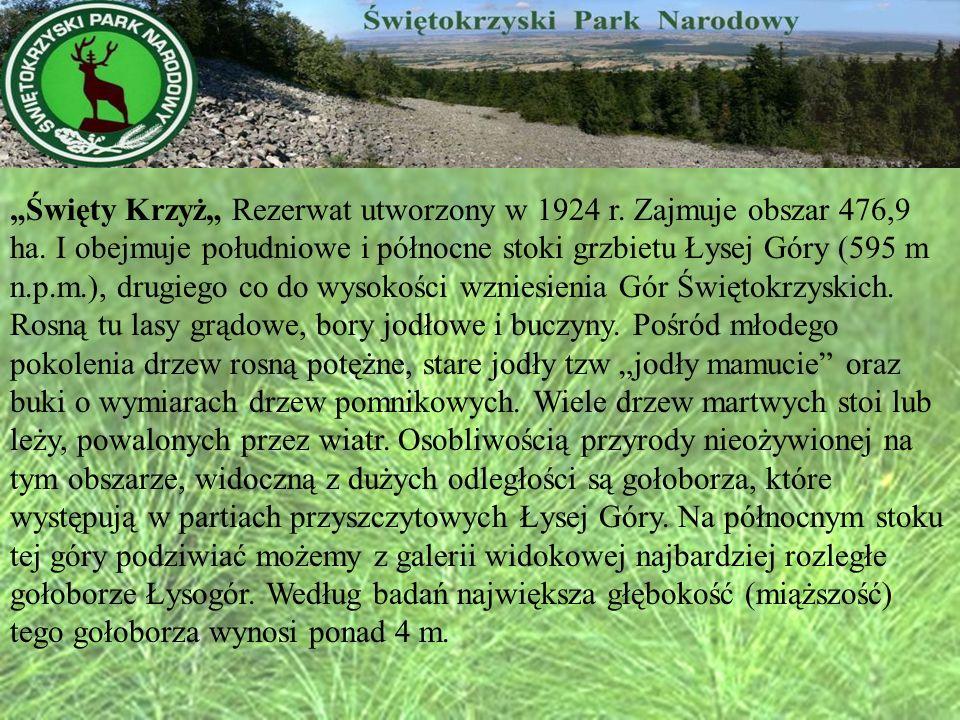 Święty Krzyż Rezerwat utworzony w 1924 r. Zajmuje obszar 476,9 ha. I obejmuje południowe i północne stoki grzbietu Łysej Góry (595 m n.p.m.), drugiego