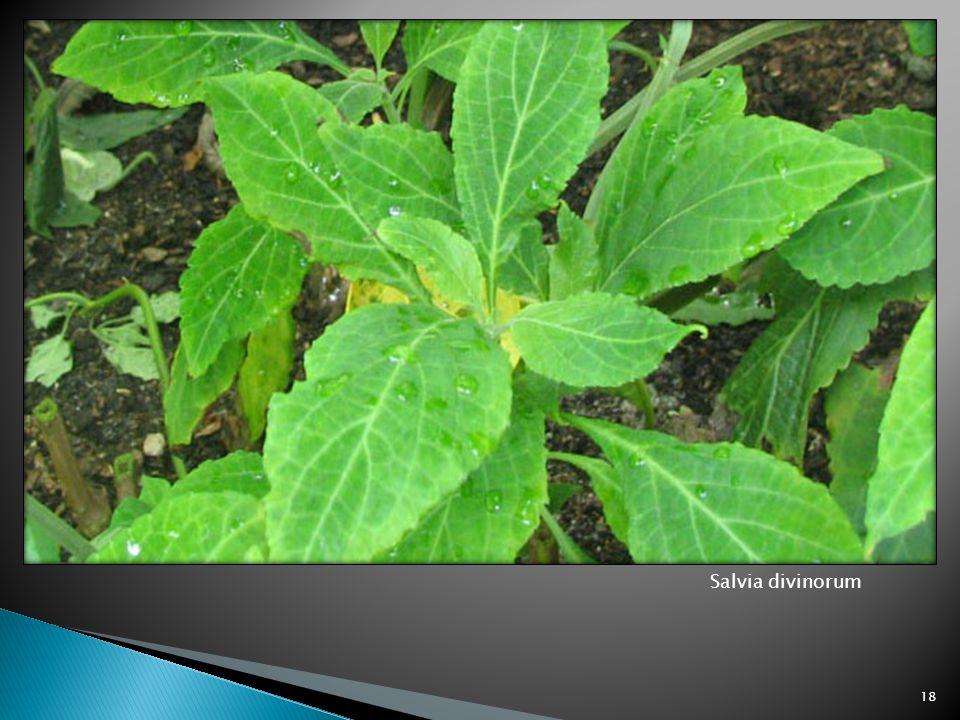Salvia divinorum 18