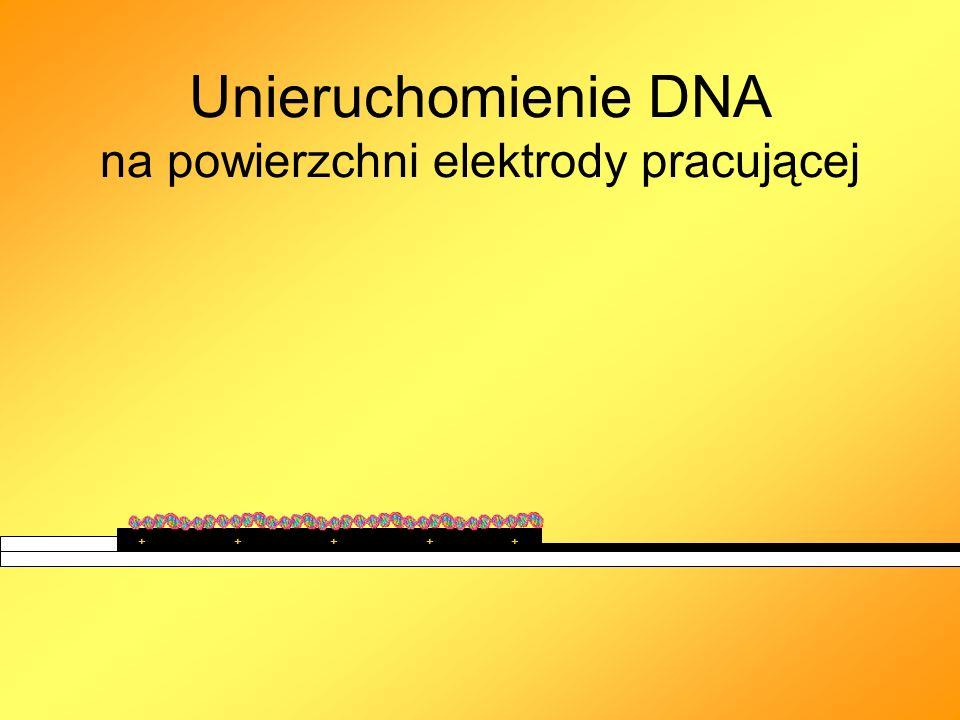 Unieruchomienie DNA na powierzchni elektrody pracującej ++++ +