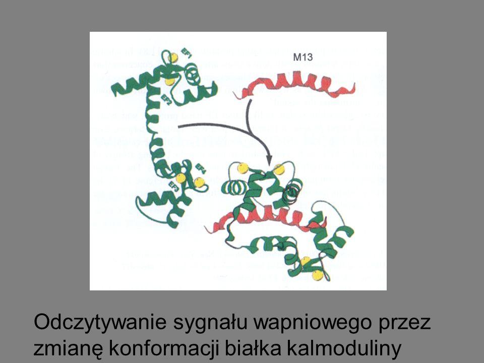 Odczytywanie sygnału wapniowego przez zmianę konformacji białka kalmoduliny