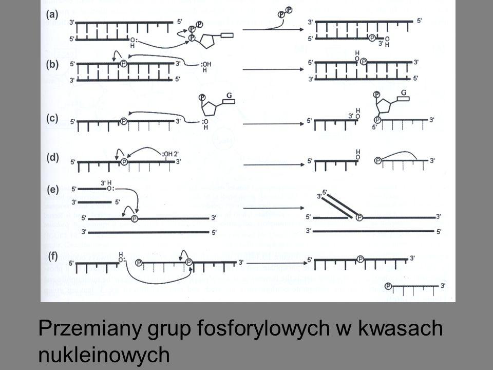 Przemiany grup fosforylowych w kwasach nukleinowych
