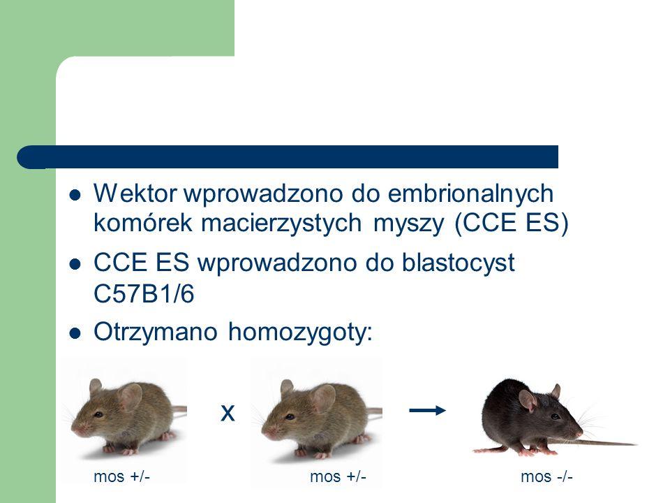 Wektor wprowadzono do embrionalnych komórek macierzystych myszy (CCE ES) CCE ES wprowadzono do blastocyst C57B1/6 Otrzymano homozygoty: x mos +/- mos -/-