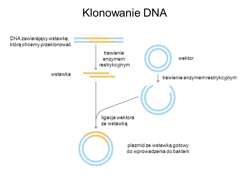 wektor trawienie enzymem restrykcyjnym Klonowanie DNA DNA zawierający wstawkę, którą chcemy przeklonować trawienie enzymem restrykcyjnym wstawka ligac