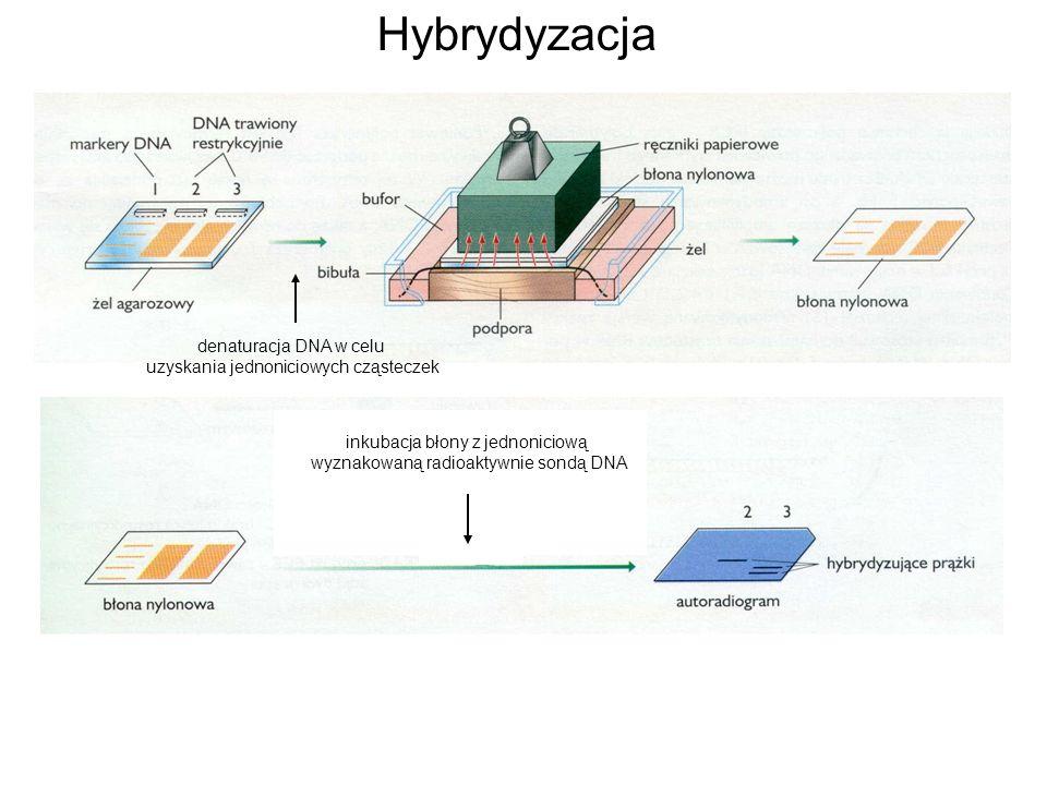 denaturacja DNA w celu uzyskania jednoniciowych cząsteczek inkubacja błony z jednoniciową wyznakowaną radioaktywnie sondą DNA
