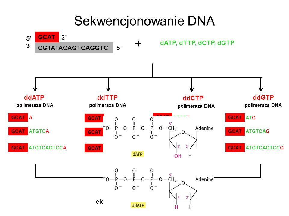Sekwencjonowanie DNA GCAT CGTATACAGTCAGGTC 5353 5 3 dATP, dTTP, dCTP, dGTP + ddATPddGTP ddCTP ddTTP polimeraza DNA GCAT A ATGTCA ATGTCAGTCCA GCAT ATAT