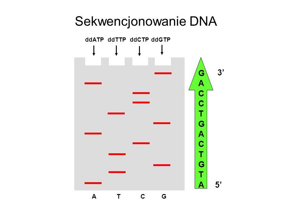 Sekwencjonowanie DNA ddATP ddTTP ddCTP ddGTP A T C G GACCTGACTGTAGACCTGACTGTA 5 3