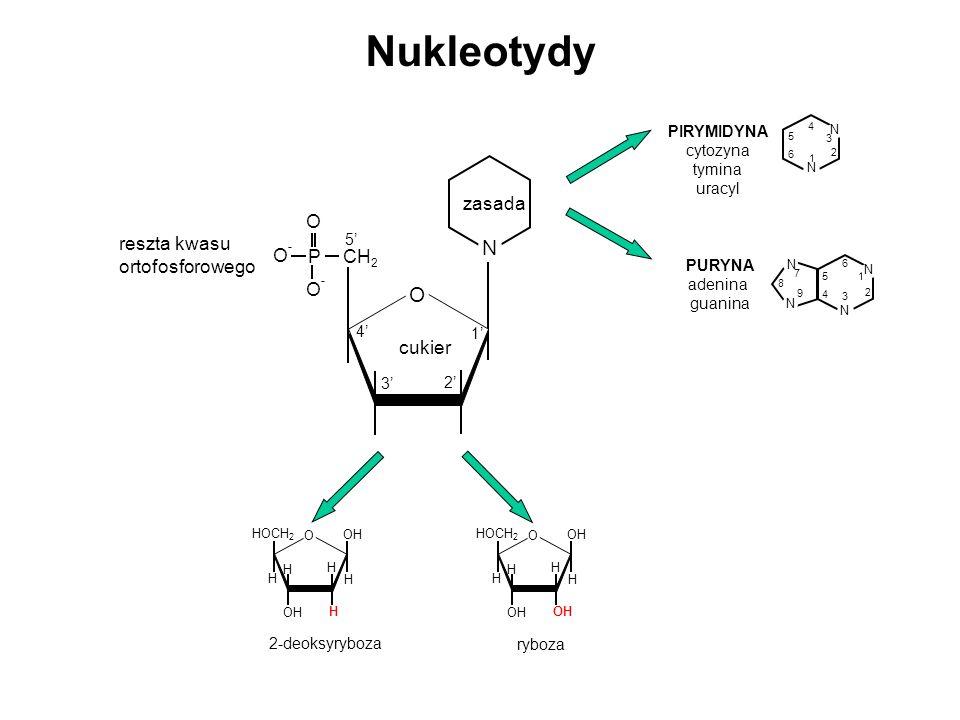 OH H O H H H HOCH 2 H OH H O H H H HOCH 2 ryboza 2-deoksyryboza N 1 2 3 4 5 6 N PIRYMIDYNA cytozyna tymina uracyl N N 1 2 3 4 5 6 N N 7 8 9 PURYNA ade