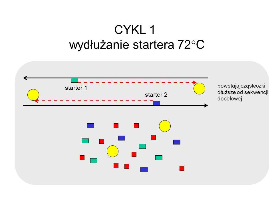 CYKL 1 wydłużanie startera 72 C starter 1 starter 2 powstają cząsteczki dłuższe od sekwencji docelowej