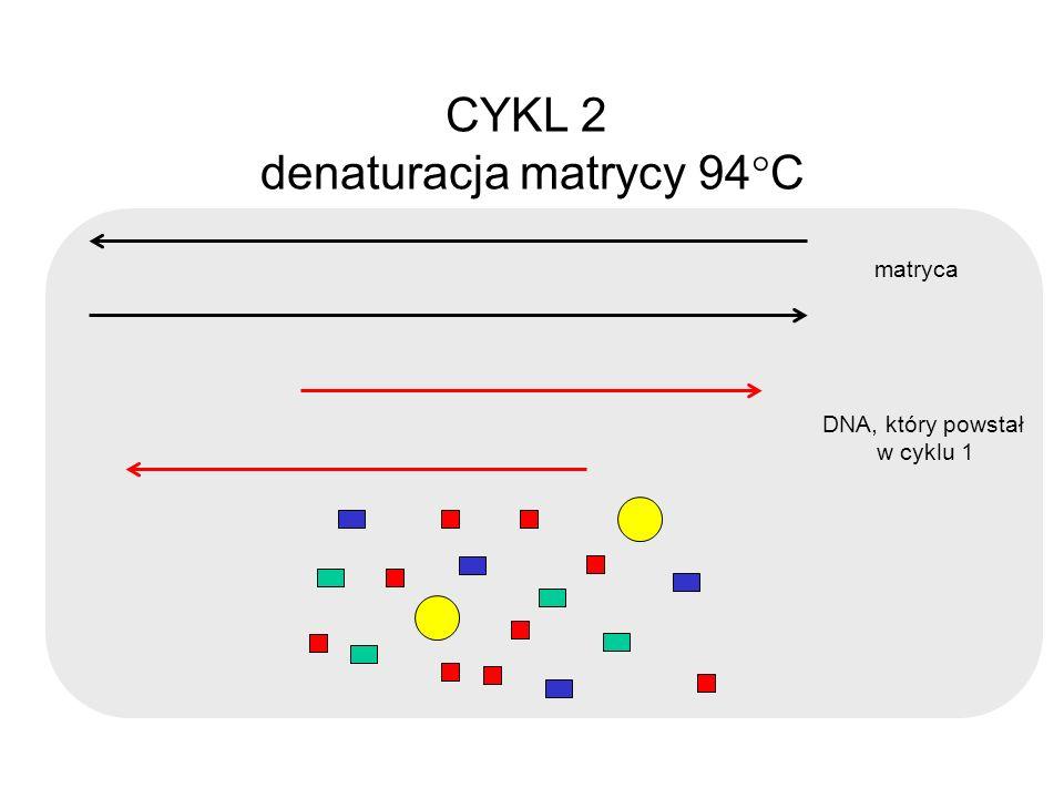 CYKL 2 denaturacja matrycy 94 C matryca DNA, który powstał w cyklu 1
