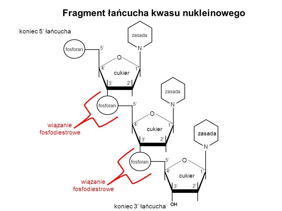koniec 5 łańcucha koniec 3 łańcucha O cukier 1 2 3 4 5 fosforan N zasada N O cukier 1 2 3 4 5 O 1 2 3 4 5 fosforan N zasada Fragment łańcucha kwasu nu