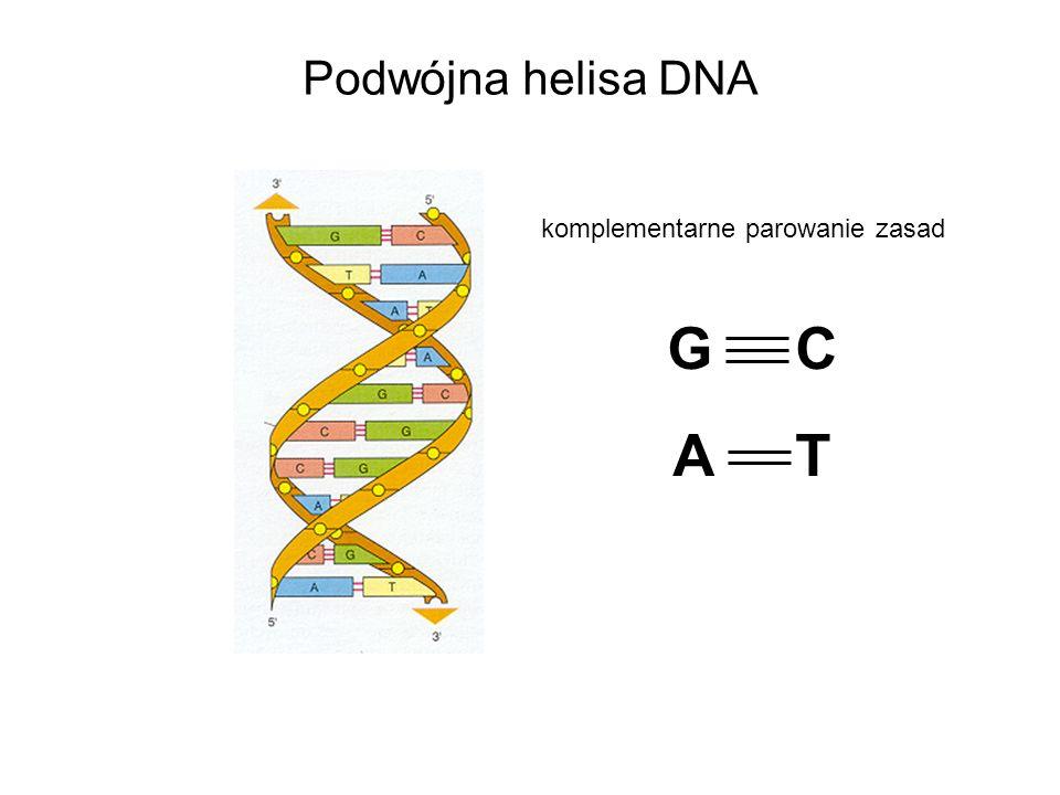 Podwójna helisa DNA G C A T komplementarne parowanie zasad