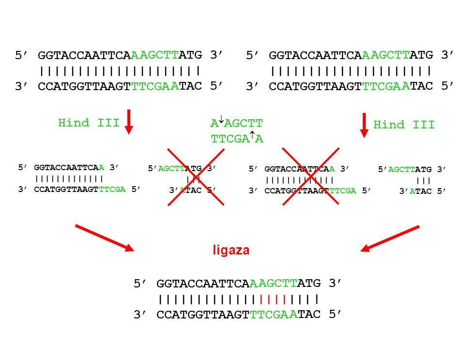wektor trawienie enzymem restrykcyjnym Klonowanie DNA DNA zawierający wstawkę, którą chcemy przeklonować trawienie enzymem restrykcyjnym wstawka ligacja wektora ze wstawką plazmid ze wstawką gotowy do wprowadzenia do bakterii