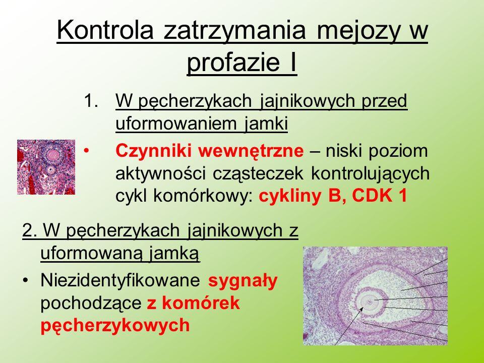 Kontrola zatrzymania mejozy w profazie I 1.W pęcherzykach jajnikowych przed uformowaniem jamki Czynniki wewnętrzne – niski poziom aktywności cząstecze