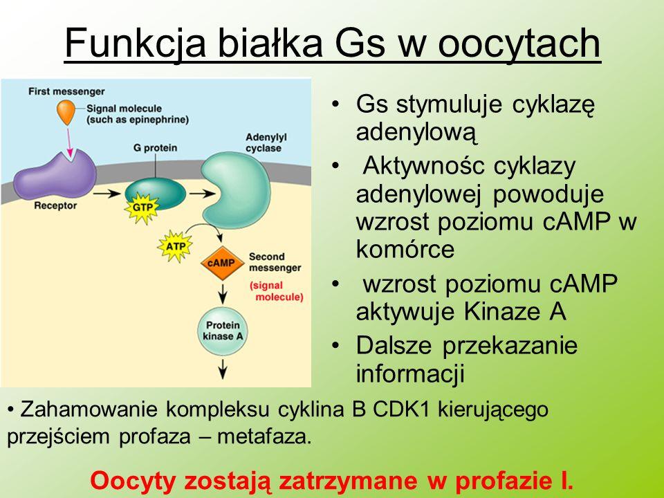 Funkcja białka Gs w oocytach Gs stymuluje cyklazę adenylową Aktywnośc cyklazy adenylowej powoduje wzrost poziomu cAMP w komórce wzrost poziomu cAMP ak