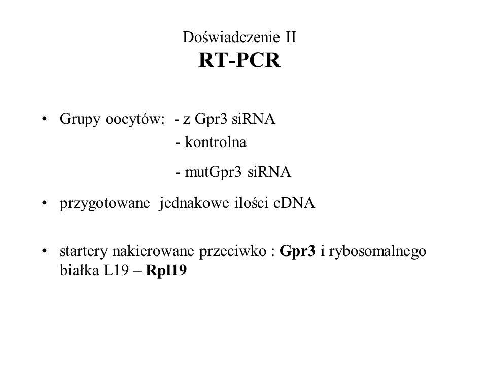 Doświadczenie II RT-PCR Grupy oocytów: - z Gpr3 siRNA - kontrolna - mutGpr3 siRNA przygotowane jednakowe ilości cDNA startery nakierowane przeciwko :